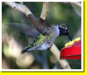 Hummingbird in Tucson