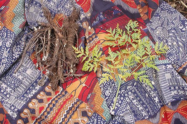 oshá root