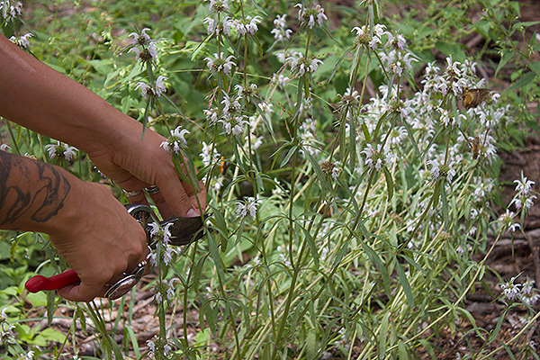 Responsible Herbalism