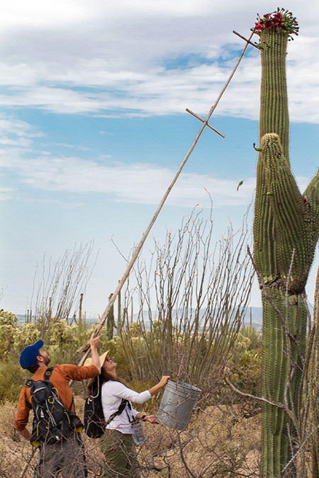 Saguaro Fruit Harvest